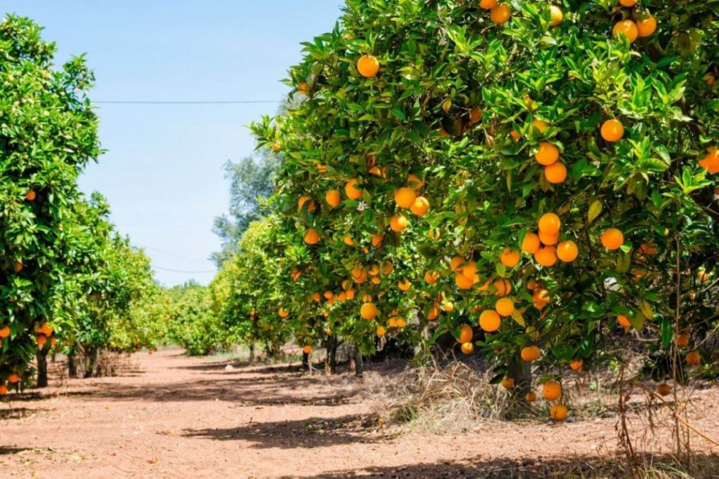 Orange trees perfume the air in the Algarve countryside
