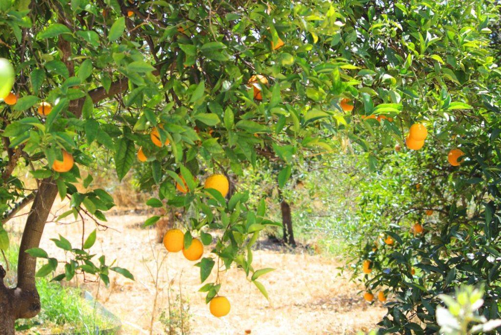 Oranges in West Algarve orchard