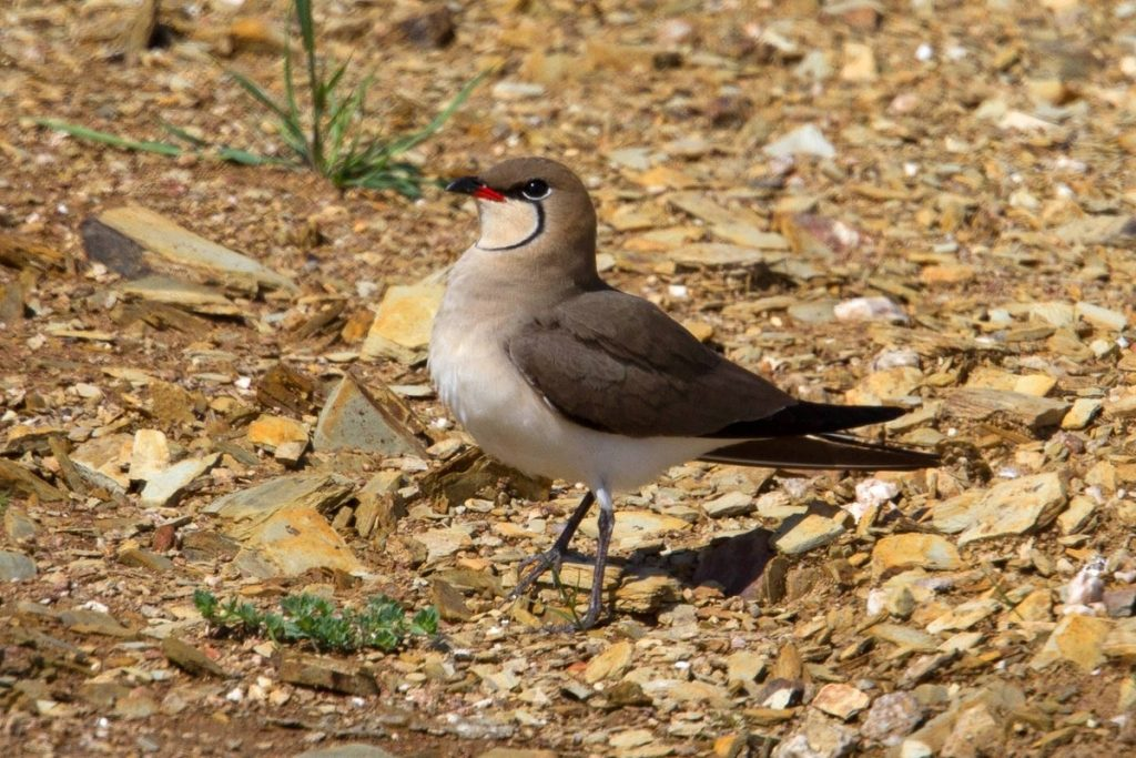Birdwatching Algarve Collared Pratincole