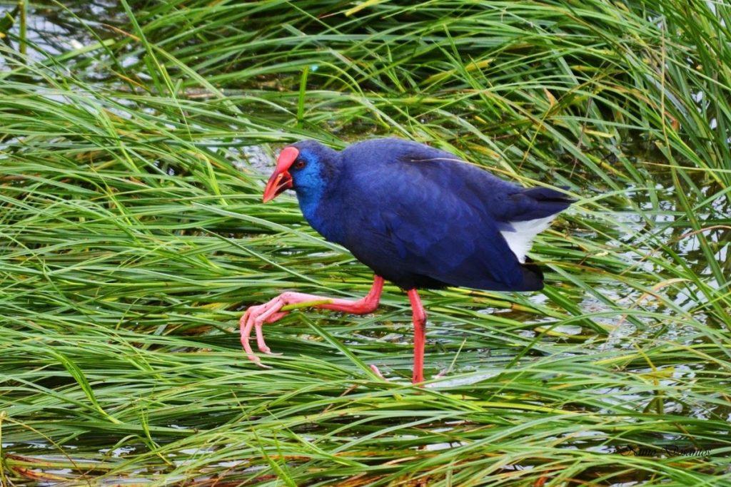 Birdwatching - Purple Swamphen