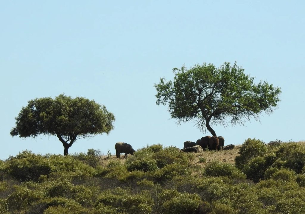 Sheeps looking for a shadow - Guadiana Valley