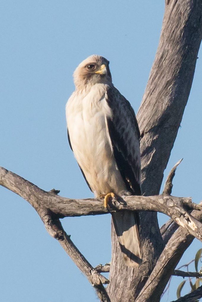 Booted Eagle, photo Peter Dedicoat