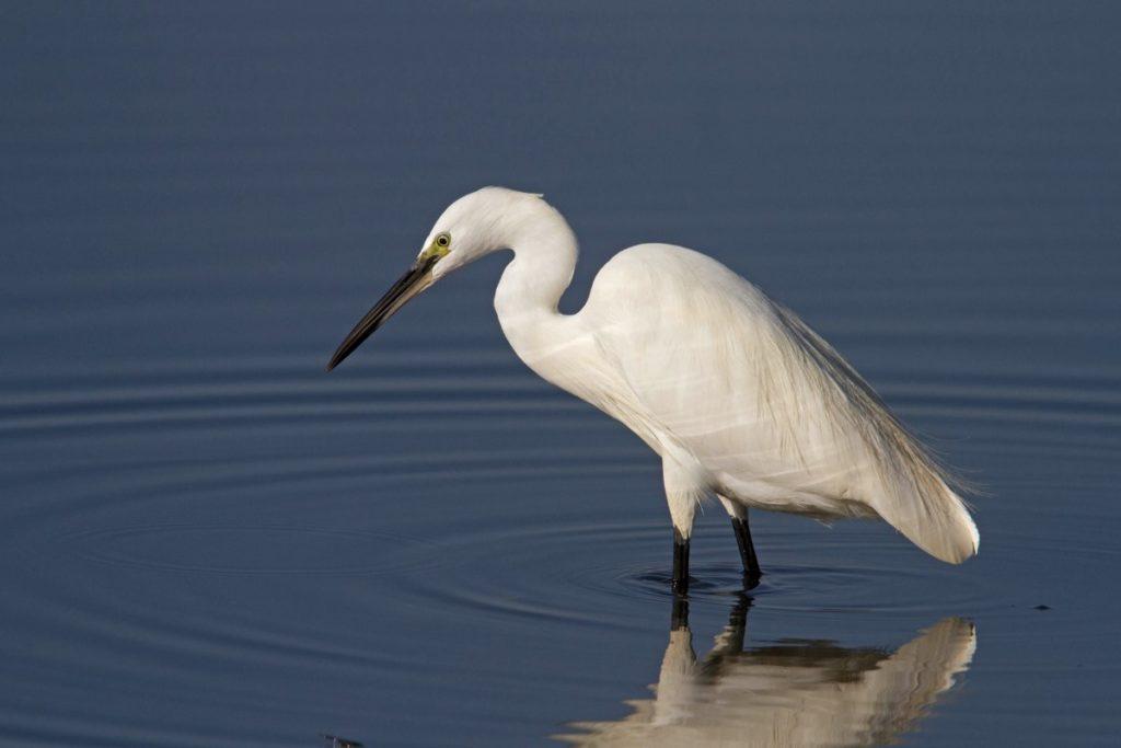 Little Egret, photo Peter Dedicoat